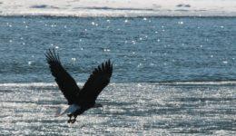 bald-eagle-896906_1920